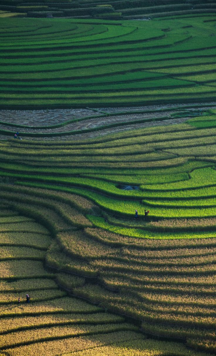 Reisfelder in Tu Le, Nordvietnam.