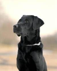 Labrador Preto com Scalibor