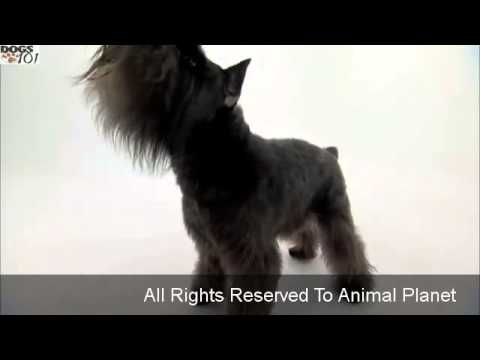 (5) Miniature Schnauzer Temperament and Breed Information - Dogs 101 - YouTube