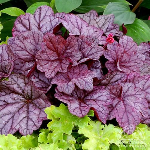 Heucheras, love them