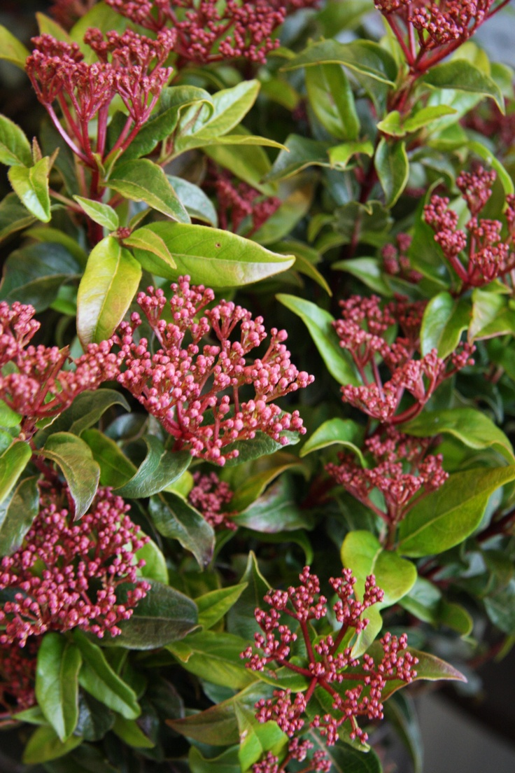 Hedge Bushes: 17 Best Images About Screening Plants Perth, Australia On