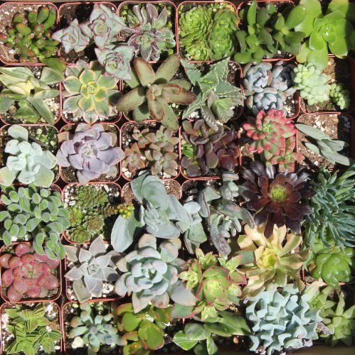 36 Mixed Succulent Spring Collection by jiimz Succulent Colections, amazon.com $38.95