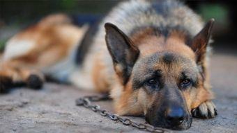 Ócsa város  blogja: Állatvédők betiltanák a kutyák láncon tartását - P...