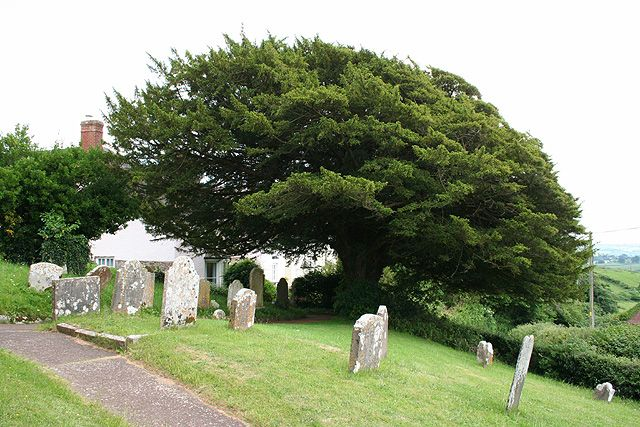 Image result for yew in churchyard