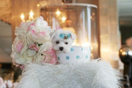 Teacup Maltese, Teacup Maltese dogs for sale, Dogs for sale