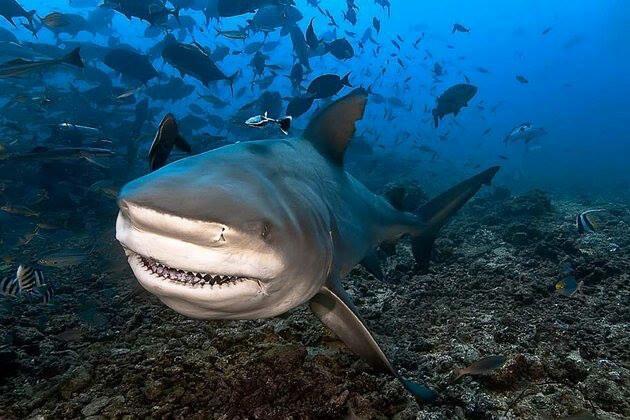 Requins aux abords  de la Reunion
