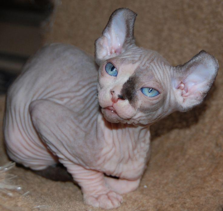 munchkin sphynx cat kittens for sale new jersey i like