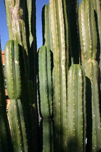 San Pedro cactus (Trichocereus pachanoi). Hallucinogenic. Contains mescaline. Illegal to ingest. Legal to own. Common cacti found in nurseries. Used by native Americans for spiritual reasons.