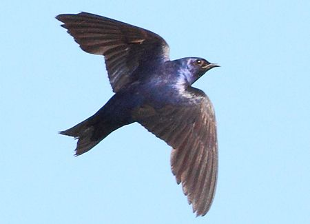 Purple Martin | American Bird Conservancy