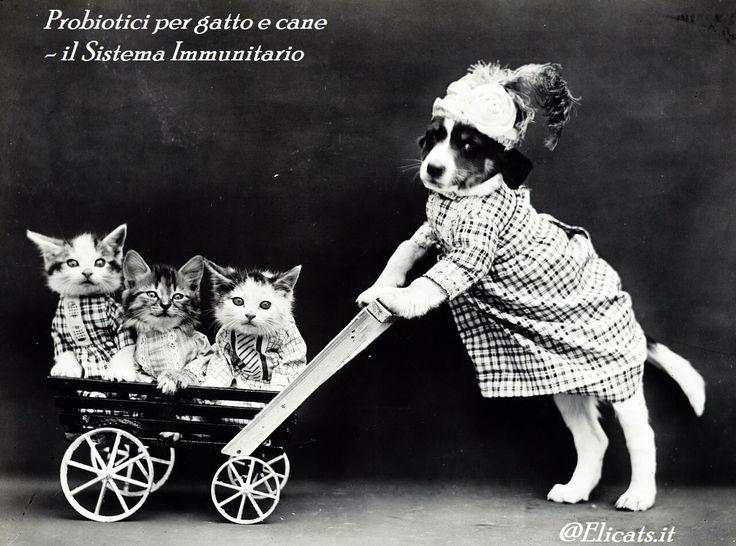 Probiotici per gatto e cane il Sistema Immunitario via @elicats