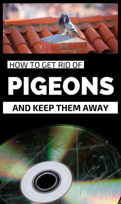 How To Get Rid Of Pigeons And Keep Them Away
