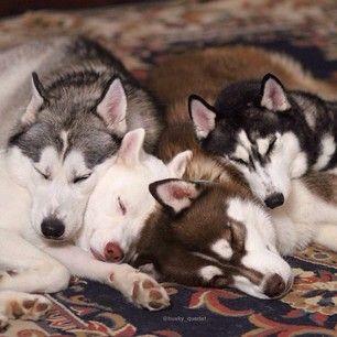 Blaze, Shiloh, Phènix, and Akira the Siberian Huskies (photo credit: http://websta.me/n/husky_quartet)