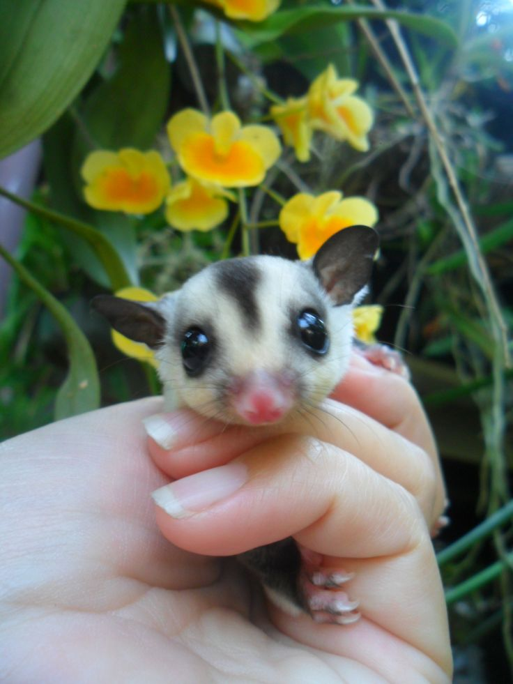 1000+ images about SUGAR GLIDERS on Pinterest | Toys, Pets ...