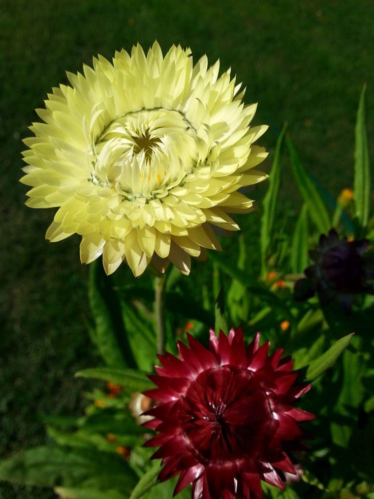 Olkikukat kukki tosi sievästi kesällä 2017