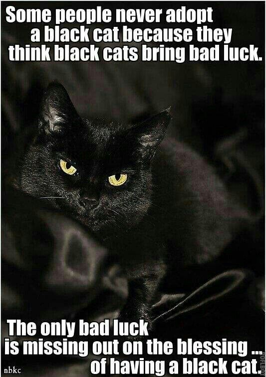 Some people never adopt a black cat because they think black cats bring bad luck. The only bad luck is missing out on the blessing of having a black cat.