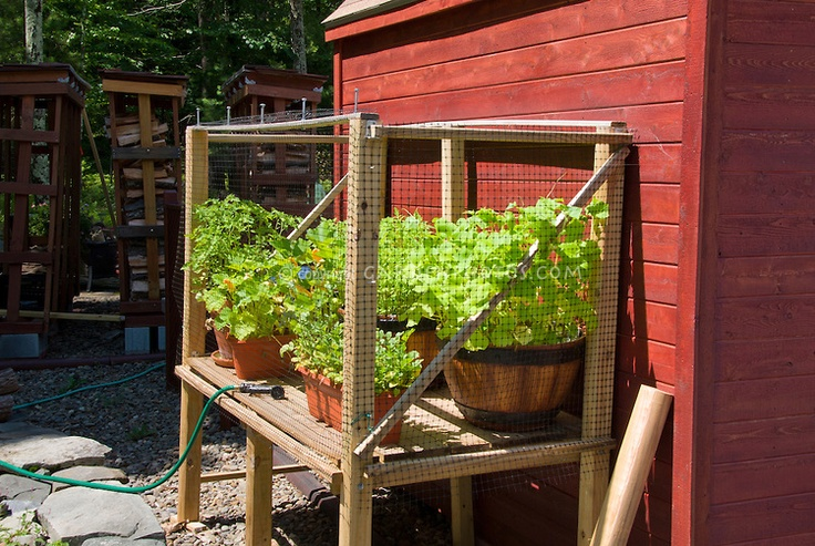 Deer protection of vegetables, herbs, nasturtium flowers container garden in pots with screening in raised mesh cage against potting shed red barn, watering hose irrigation, stacked firewood in background