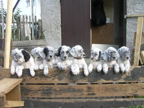 #English #Setter #Puppies
