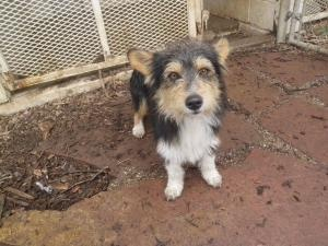 shorty is an adoptable Corgi Dog in Denton, TX. How adorable is Shorty? He is a corgi/terrier mix who was found as a stray in Krum. He is about 1-2 years old and loves other dogs. He is such a sweetie...