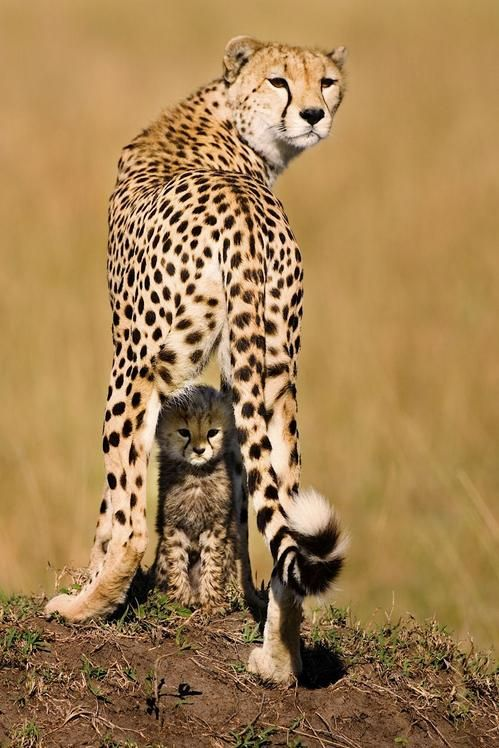 big-catsss:  Mommy and Me byPiper Mackay  The mortality rate of cheetah's is roughly 95%. This mother had lost all her cubs but one and she...