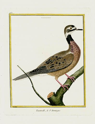 François Nicolas Martinet 1770 Bird Prints Histoire Naturelle des Oiseaux- Tourterelle de St-Domingue