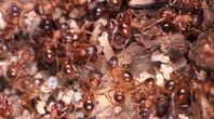 How to Repel Sugar Ants | eHow