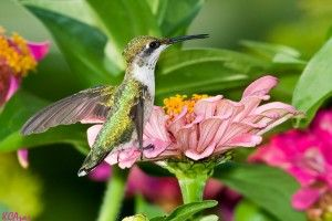 Hummingbird Garden Ideas: Best Flowers For Attracting Hummingbirds  Image by Kelly Colgan Azar  By Jackie Carroll