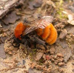 A female tawny mining bee beginning to dig its spring nest. Not all bees have nests above ground.