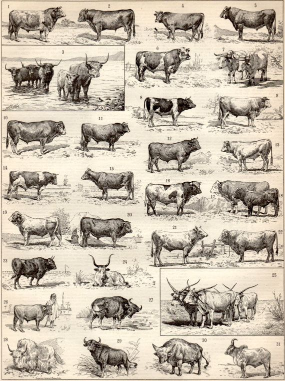 Cattle Breeds, 1897 Antique Print, Vintage Lithograph, Beef Cattle Print, Cattle Illustration, Cows, Bovine, Bull, Horned Ox, Yak, Bison