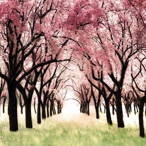 blossoms: Art, Beautiful, Nursery Decor, Baby Girl, Trees, Cherries, Cherry Blossoms