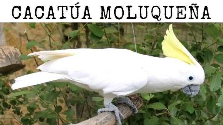 Conoce aquí a la #Cacatúa de #moluqueña. Se la conoce también como cacatúa de moño rojo o de las #Molucas. La peculiaridad que más destaca de esta #ave #exótica es que cuando se #excita despliega el plumaje rojo de la parte trasera de la cabeza y también de las #plumas blancas de su cuello y pecho.