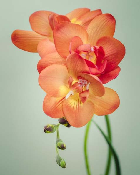 "Freesia Flower Photo, Fine Art Print """"Freesia No. 4"""""