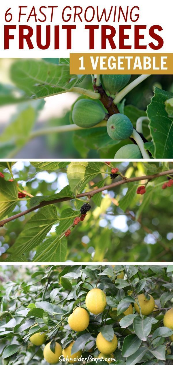 Six Fast Growing Fruit Trees And One Vegetable Schneiderpeeps Fast Growing Fruit Trees Growing Fruit Trees Fruit Trees