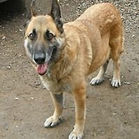 White River Junction, Vermont - German Shepherd Dog. Meet Queen in TEXAS, a for adoption. https://www.adoptapet.com/pet/20940769-white-river-junction-vermont-german-shepherd-dog