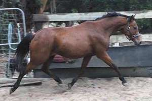 Willowcroft Gelding