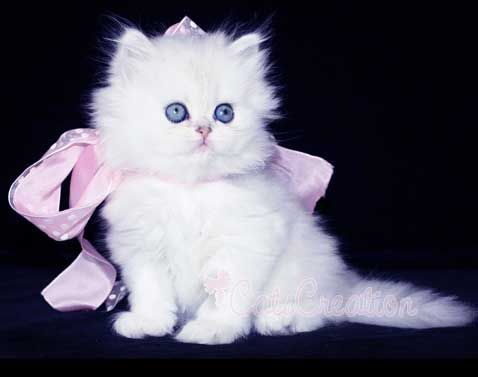 "This adorable kitten is a doll-faced teacup Persian.  This just may become my next kitty.  These sweet cats are ultra tiny and petite miniature Persians, almost like  being a kitten forever.  They have the sweet facial structure known in the cat fancy as ""doll face."""