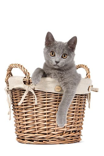 CAT 03 JE0247 01 © Kimball Stock Chartreux Kitten Sitting In Wicker Basket On White Seamless