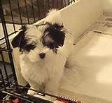 Teacup Dogs For Sale Uk
