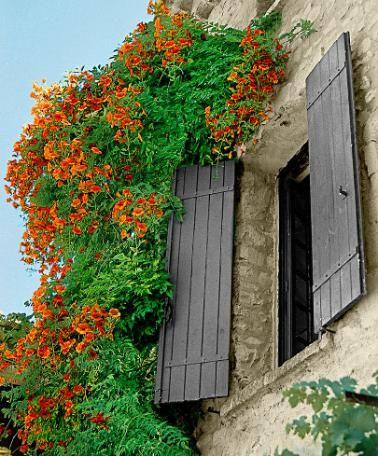Trompetbloem 'Madame Galen' Klimmer Campsis x tagliabuana 'Madame Galen'   De bloemen kunnen wel 7,5 cm lang worden! Trompetbloem 'Madame Galen' (Campsis tagliabuana) is een snelgroeiende klimplant met sterke hechtwortels. Hiermee zuigt de trompetbloem zich snel vast aan de muur of schutting. De trompetvormige bloemen komen vanaf het tweede jaar aan de plant.