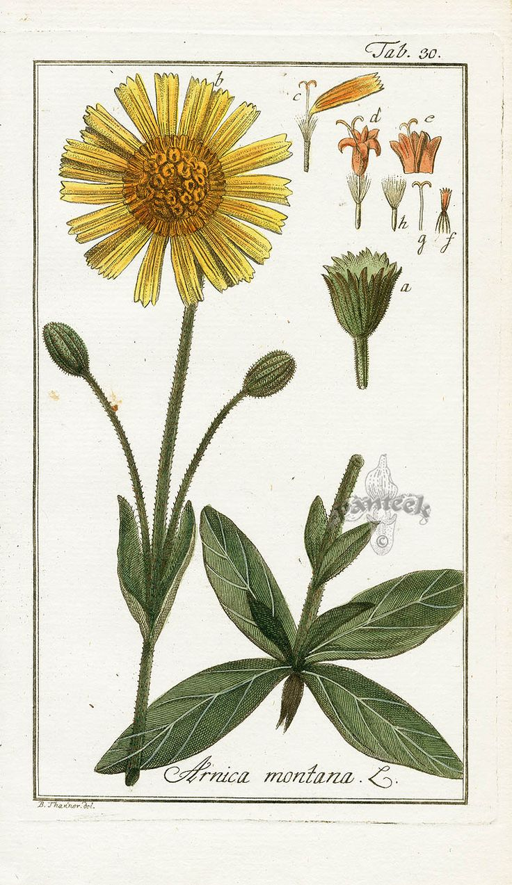 Arnica montana | Spagyric use: major pain killer, similar to aspirin, but without side effects