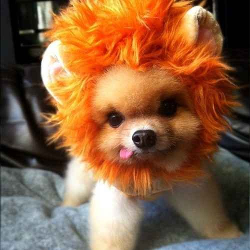 Lion Pom   The 40 Most Influential Poms Of 2013...I'm sorry, I had too!