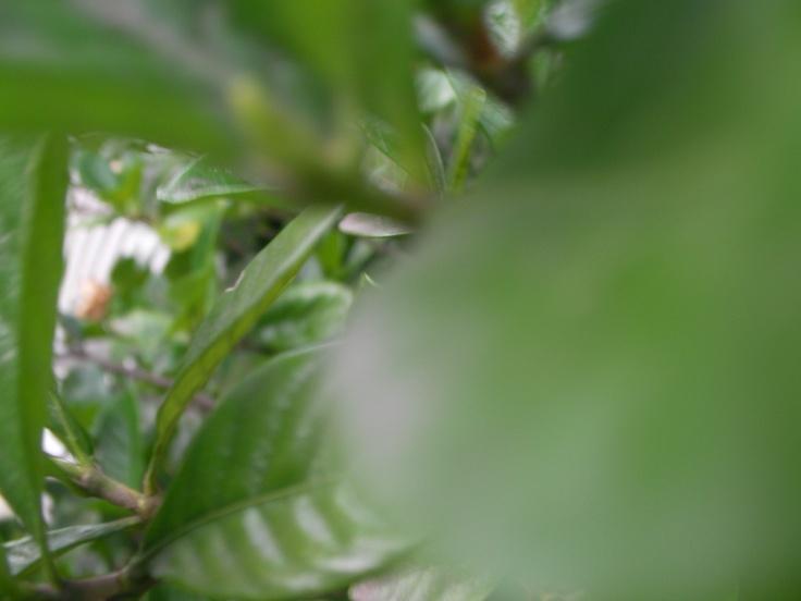 + hojas