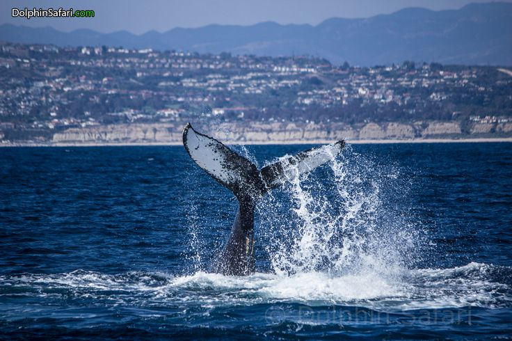 Peduncle throw - Humpback Whale: Humpback sightings have been off the charts for us this year! Photo by Naturalist Mark Tyson www.dolphinsafari.com  #HumpbackWhale #Humpback #Whale #WhaleWatching #DanaPoint