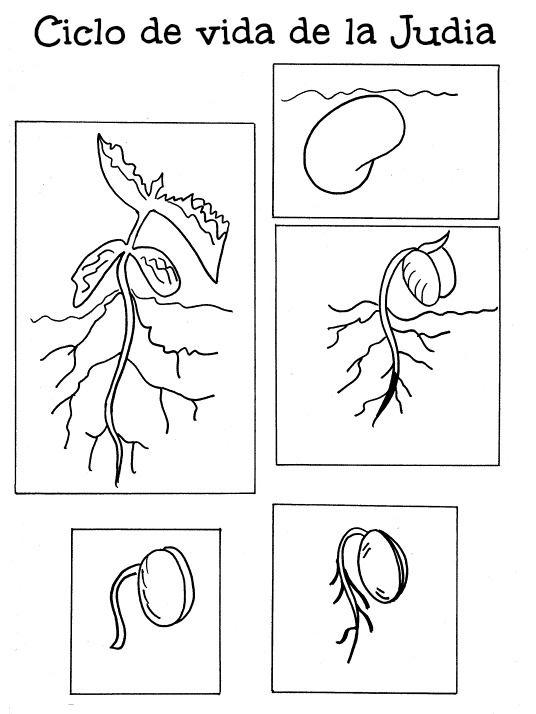 L minas del ciclo vital de una planta modelo 1 for Plantas ornamentales para colorear