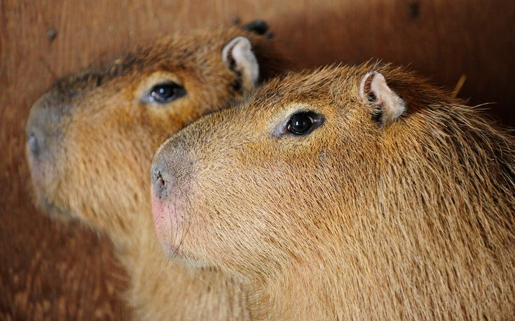 After escaping from the High Park Zoo in Canada, two capybaras have eluded capture for over three weeks.