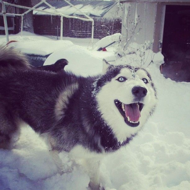 40 Super Excited Snow Dogs Of Instagram.  Siberian Husky.