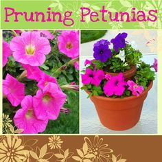 Pinch Those Petunias! Easy instructions on how to prune and care for petunia plants.