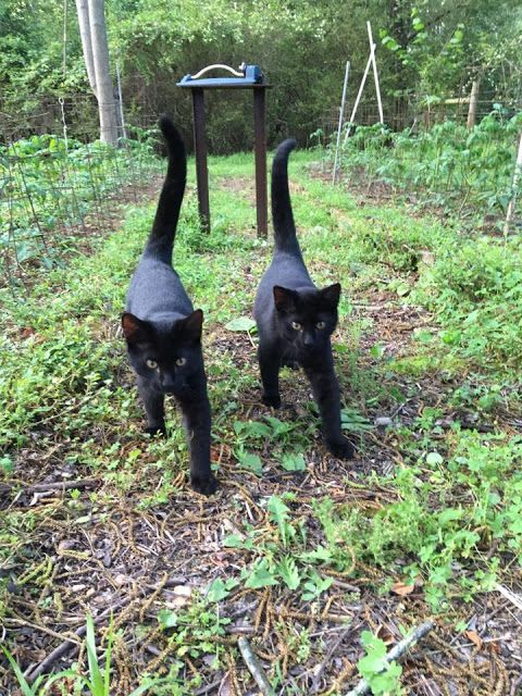 Black Cats, I learned they bring good luck as long as there is one white hair in the fur. There is always one somewhere ...