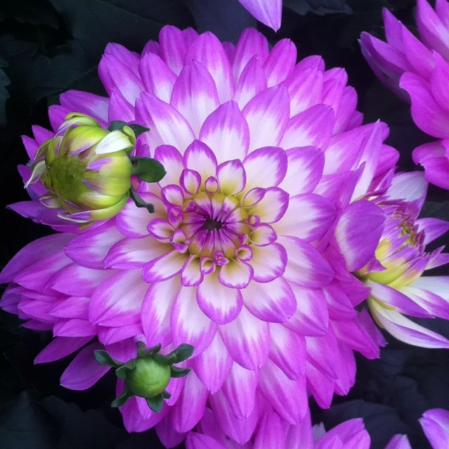 Flowers. Bloemen. Schitterende dahlia