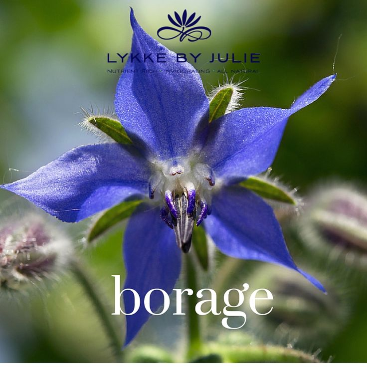 Borageseed oil contains vitamins, minerals and GLA found in breast milk. We use it because it nourishes the skin and is excellent for use in facial treatment like eczema or other skin problems