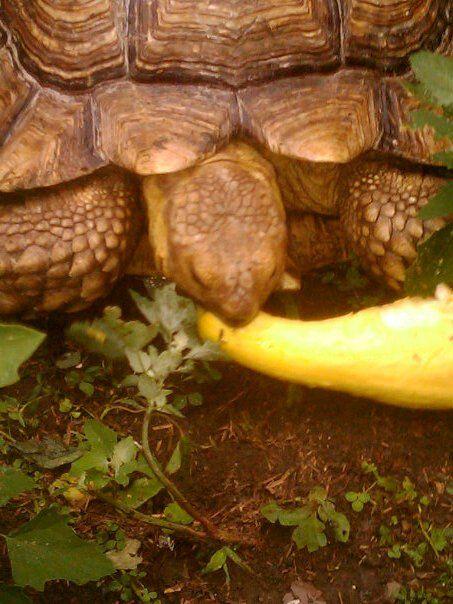 Sulcata tortoises as pets